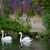 And we close with swans, along with rosy cheeks they remind us of England's remarkable staying power.